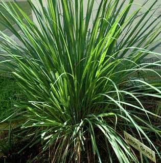Lemongrass And Inflammation Ayurvedic Herbal Teas